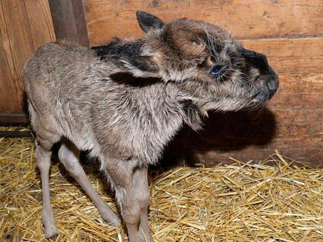 V olomoucké zoo se narodila tři mláďata pakoně běloocasého