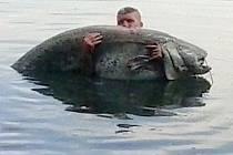Rybář Josef Faltýnek na Chomoutovském jezeře na jeden zátah dostal z vody během dvaceti minut 224 centimetrů velkého sumce