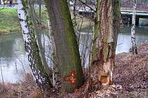 Bobři likvidují stromy u cyklostezky podél Mlýnského potoka v olomoucké čtvrti Hejčín. Pětina stromů se bude muset pokácet