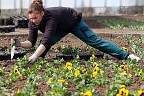 Výsadba květinových záhonů v olomouckých Smetanových sadech