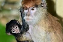 Mládě u kočkodanů husarských v olomoucké zoo