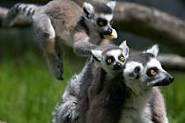 Lemur kata v olomoucké zoo