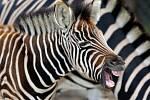 Din, mládě zeber Chapmanových v olomoucké zoo