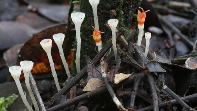 Nejmenší druh hvězdnatky - Přírodovědci z olomoucké Univerzity Palackého ji objevili v tropických deštných lesích ostrova Borneo