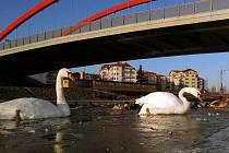 Labutě na zamrzající Moravě pod mostem u Kojeneckého ústavu v Olomouci