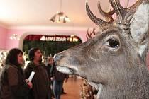 Přehlídka trofejí jelena siky japonského v Luké na Litovelsku