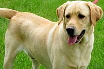 Labrador. Ilustrační foto