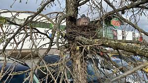 Holub statečně sedí na vejcích na parkovišti u olomouckého Globusu, 14. dubna 2021