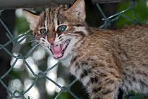 Jedno ze čtyř mláďat kočky krátkouché, které se narodily v olomoucké zoo.