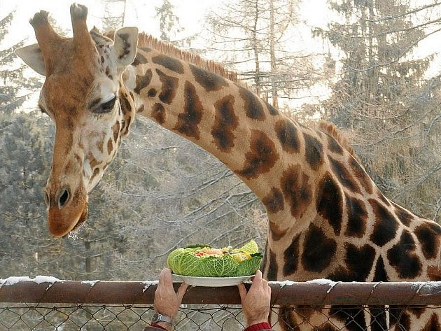 Žirafa Veronika v olomoucké zoo slavila 22. narozeniny