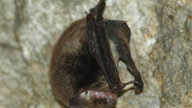 """Probuzený netopýr vodní si """"mne oči""""."""