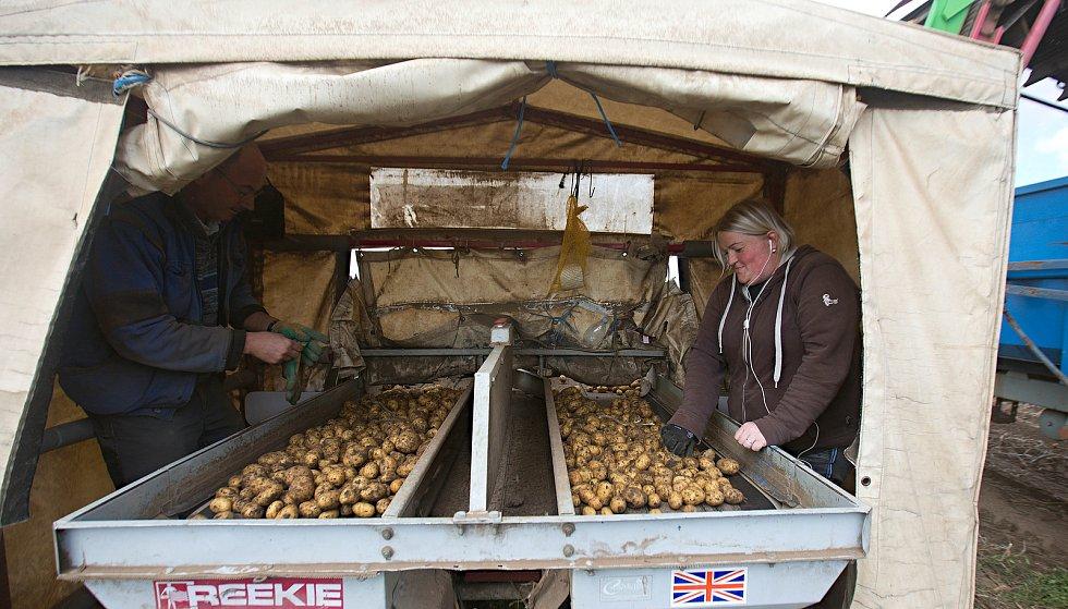 Sklizeň brambor ve Vrbátkách.