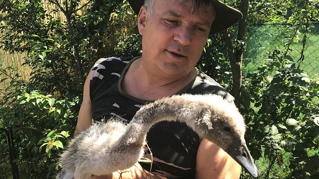 V Želechovicích hynou labutě. Dílo traviče, jsou přesvědčeni v záchranné stanici v Pateříně, kde bojují o život posledních dvou mláďat.