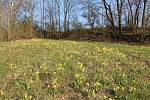 Na skále nedaleko Hněvotína vykvetly tisíce prvosenek jarních. Konec dubna 2021