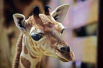 Žirafátko Sarifa narozené 26. dubna 2020 v olomoucké zoo