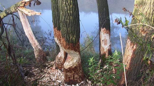 Bobři se umí na stromech podél řek podepsat.
