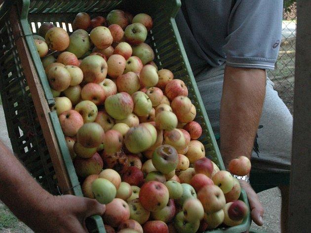 Sběrači se činí - výkupny letos za jablka platí rekordní ceny.