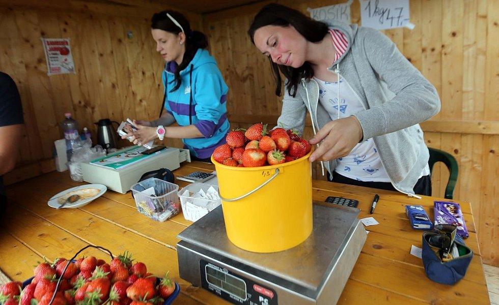 Samosběr jahod ve Skrbeni 2014