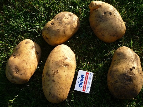Paní Magdaléna Sýkorová si pochvaluje úrodu brambor