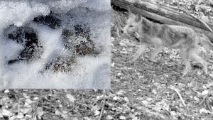 Šakal zachycen v roce 2016 fotopastí u Dlouhé Loučky a aktuální šakalí stopa z okolí Mutkova