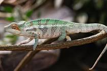 Chameleon pardálí v Zoo Olomouc.