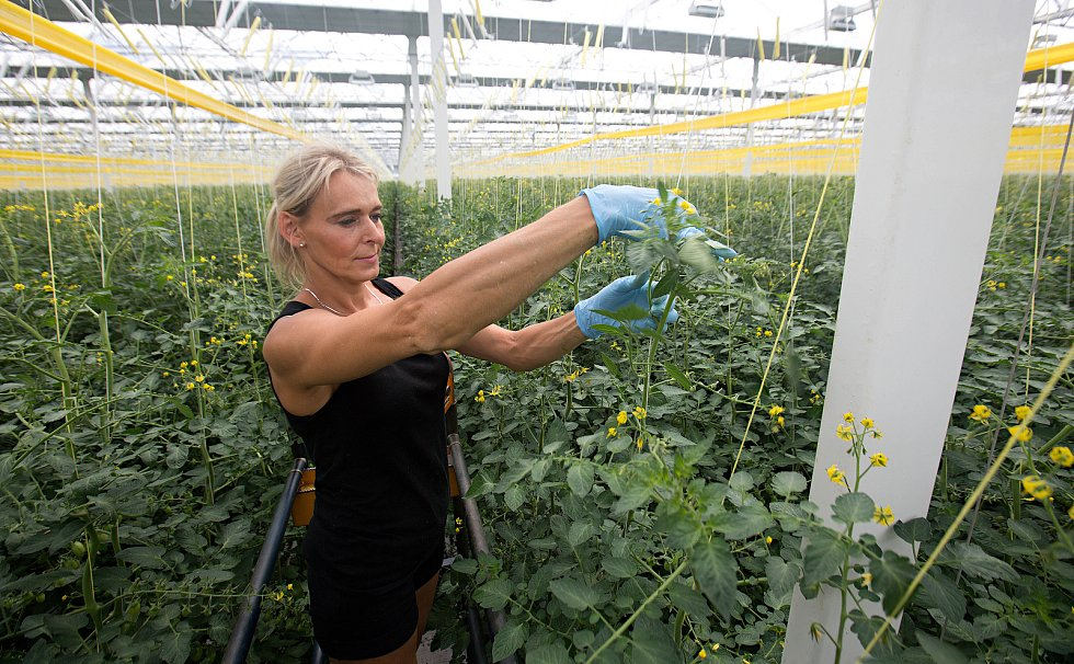 Rajčatový skleník ve Smržicích
