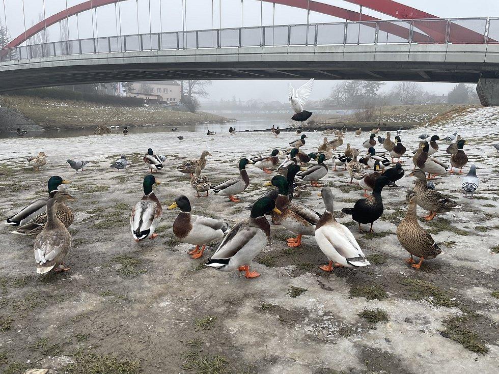 Krmení vodního ptactva u Moravy, u kojeneckého ústavu v Olomouci, 20. února 2021