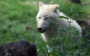 Vlčata ve výběhu vlků Hudsonových