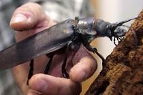 Olomoučtí biologové přivezli ze své expedice v Amazonii živého největšího brouka světa, titána obrovského