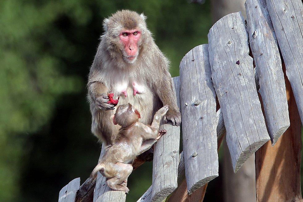 Nová mláďata u makaků v olomoucké zoo