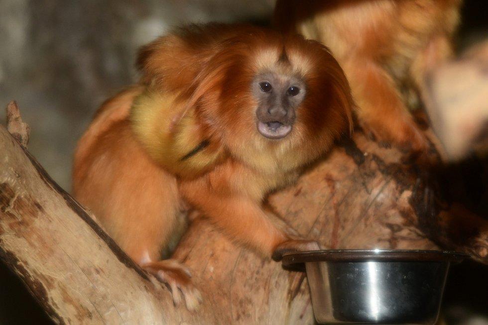 Dvojčata lvíčků zlatých v olomoucké zoo přišla na svět 26. ledna 2020