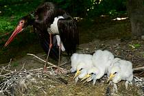 Vzácný přírůstek v průchozí voliéře v Zoo Olomouc. Vylíhla se trojice mláďat čápa černého.