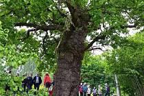 Zhruba tři sta padesát let starý dub letní v Bílé Lhotě na Olomoucku bodoval v letošní anketě Strom roku. S více než čtyřmi tisíci hlasů skončil na třetím místě.