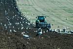 Ornitologové v těchto dnech zaznamenali stovky čápů bílých, jak se zastavují na cestě do Afriky na polích s přemnoženými hraboši. Na Hané mají hody. Na snímku pole u Nedvězí.
