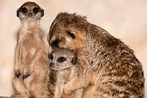 V Zoo Olomouc se surikatám daří. Přibyla 3 mláďata. Prosinec 2020