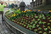 Dokončení květinové výzdoby Sloupu Nejsvětější Trojice v Olomouci. 10. června 2020