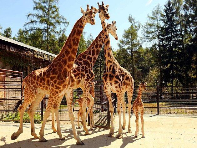 Žirafy v olomoucké zoo