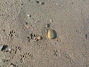 Stopy potkanů na břehu pískovny v Nákle