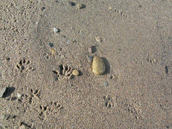 Stopy potkanů na břehu pískovny vNákle