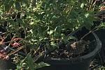 Za Humny se to modrá. Na rodinné farmě v Kostelci na Hané sklízejí Mlčochovi stovky kilogramů sladkých borůvek. Do budoucna plánují nabídnout lidem populární samosběr.Hlavním nepřítelem pěstitelů borůvek je počasí, zejména sucho. Také ptáci, hlavně špaček