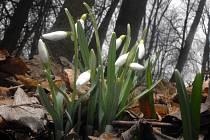 Sněženky už kvetou.