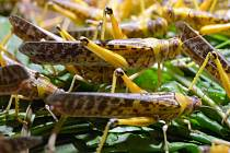 Olomoucká farma se specializuje na chov sarančat všežravých, cvrčků banánových a švábů.