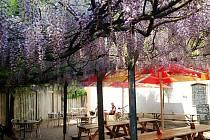 V Nákle-Lhotě mají v hospodě nevídanou kulisu. Nad půllitry hostům visí záplava květů vistárie – dekorativní dřeviny.  FOTO: