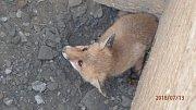 Liška v jámě