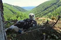 Červen 2016. Dagmar - čtvrté mládě orlího páru z Libavé
