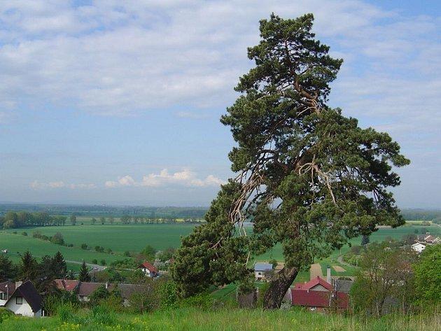 Krčmaňský jehličnan Borek
