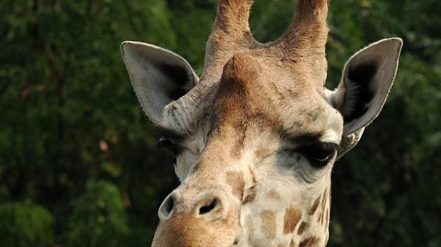 V Zoo Olomouc ve čtvrtek uhynula nejstarší žirafa olomouckého stáda Zaira.