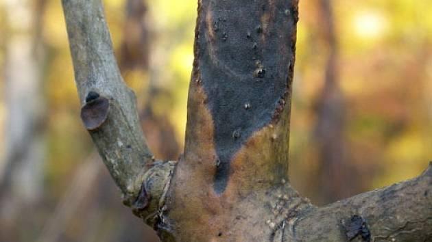 Infekce proniká do dřevní části, kterou zabarvuje do šedohněda. Jednoleté letorosty nad nekrózami hynou a to nejvýrazněji v podzimních měsících, od začátku září do konce října. Na řapících listu se tvoří tmavě hnědé nekrózy.