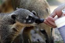 Nosálí mláďata v olomoucké zoo