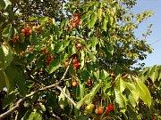 Na stromech pomalu začínají dozrávat třešně. Letos o dva týdny dříve. Na snímku alej u Daskabátu.